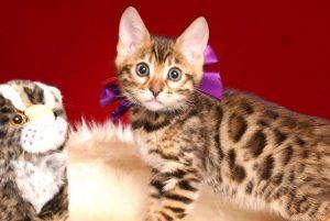 ベンガルの子猫 2019/2/18生まれ 642番パープルちゃん メス7