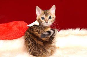 ベンガルの子猫 2019/2/10生まれ 641番ホワイトちゃん メス1