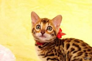 ベンガルの子猫2015年11月29日生まれ 195番レッド君
