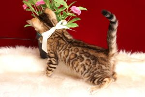 ベンガルの子猫 2019/2/10生まれ 641番ホワイトちゃん メス6