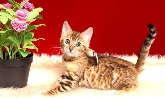 ベンガルの子猫 2019/2/10生まれ 641番ホワイトちゃん メス7
