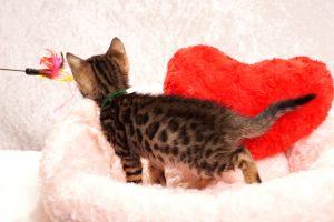 ベンガルの子猫2018年1月10日生まれ 459番グリーン君