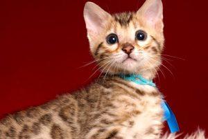 ベンガルの子猫 2019/2/21生 653番ブルー君1