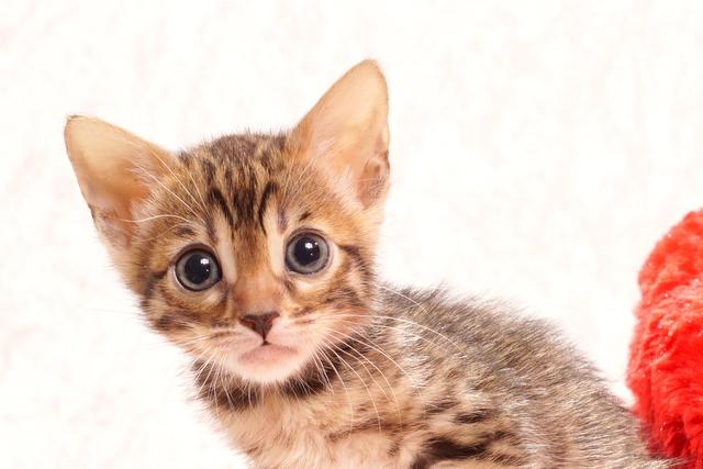 ベンガルの子猫2018年1月10日生まれ 458番ピンクちゃん