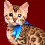 ベンガルの子猫 2019/2/21生 653番ブルー君7