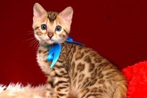 ベンガルの子猫 2019/2/21生 653番ブルー君6