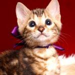 ベンガルの子猫 2019/2/21生 652番パープル君1