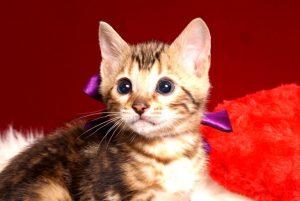 ベンガルの子猫 2019/2/21生 652番パープル君2
