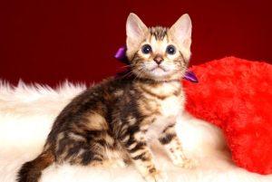 ベンガルの子猫 2019/2/21生 652番パープル君3