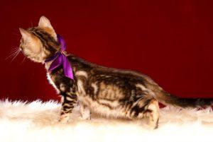 ベンガルの子猫 2019/2/21生 652番パープル君5