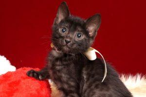 ベンガルの子猫 2019/2/21生 651番ホワイト君 オス1