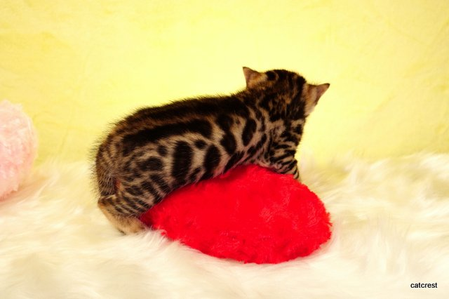 ベンガル子猫写真