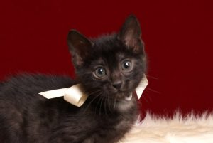 ベンガルの子猫 2019/2/21生 651番ホワイト君 オス3