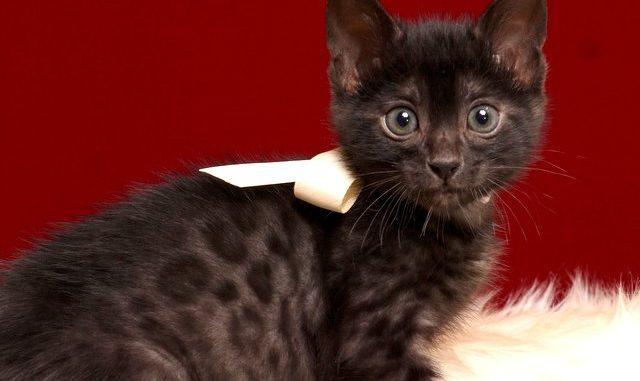 ベンガルの子猫 2019/2/21生 651番ホワイト君 オス4