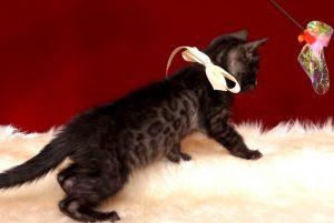 ベンガルの子猫 2019/2/21生 651番ホワイト君 オス5