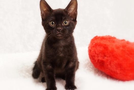 ベンガルの子猫2017年12月21日生まれ 451番くろちゃん