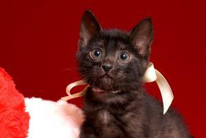 ベンガルの子猫 2019/2/21生 651番ホワイト君 オス6