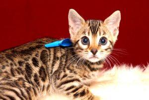 ベンガルの子猫 2019/2/27生 649番ブルー オス1
