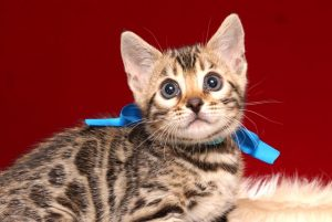 ベンガルの子猫 2019/2/27生 649番ブルー オス2