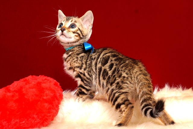 ベンガルの子猫 2019/2/27生 649番ブルー オス5