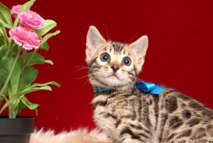 ベンガルの子猫 2019/2/27生 649番ブルー オス6