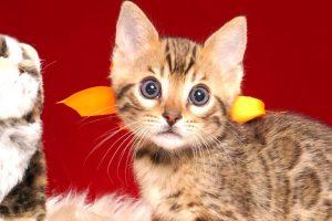 ベンガルの子猫 2019/2/27生 648番オレンジ オス1
