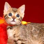 ベンガルの子猫 2019/2/27生 648番オレンジ オス2