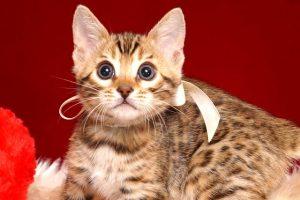 ベンガルの子猫 2019/2/27生 647番ホワイト メス1