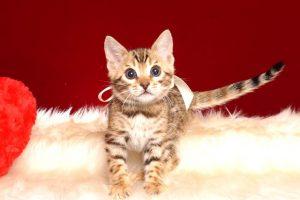 ベンガルの子猫 2019/2/27生 647番ホワイト メス2