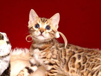 ベンガルの子猫 2019/2/27生 647番ホワイト メス3