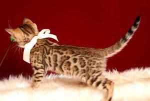 ベンガルの子猫 2019/2/27生 647番ホワイト メス4