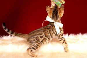ベンガルの子猫 2019/2/27生 647番ホワイト メス5