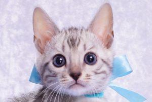 ベンガルの子猫2018年1月18日生まれ 463番みずいろ君