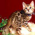 ベンガルの子猫 2019/2/27生 658番ブラック オス2