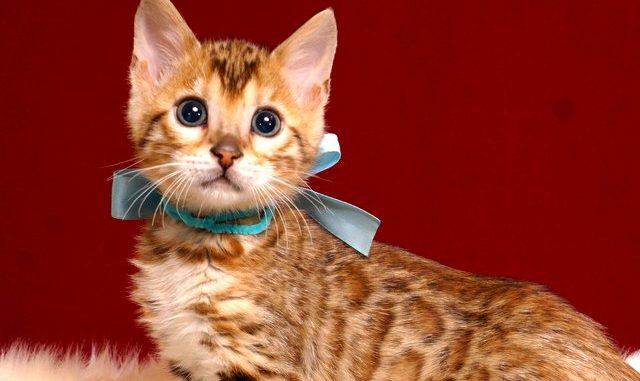 ベンガルの子猫 2019/2/27生 656番アクア オス1
