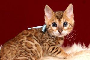 ベンガルの子猫 2019/2/27生 656番アクア オス2