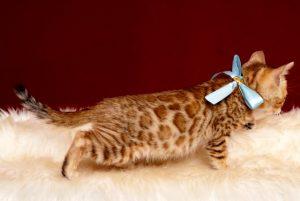 ベンガルの子猫 2019/2/27生 656番アクア オス5