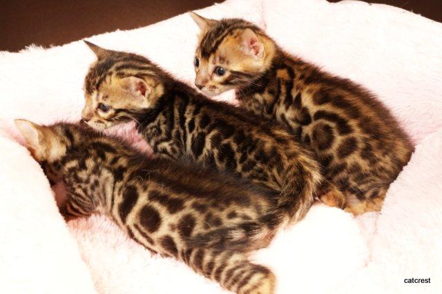 ベンガルの子猫2016年8月28日生まれ
