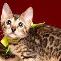 ベンガルの子猫 2019/2/27生 654番イエロー メス1
