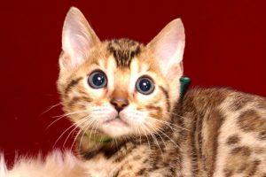 ベンガルの子猫 2019/2/27生 657番グリーン オス1