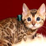 ベンガルの子猫 2019/2/27生 657番グリーン オス2
