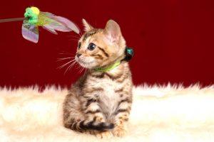 ベンガルの子猫 2019/2/27生 657番グリーン オス6