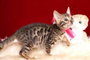 ベンガルの子猫 2019/3/5生 664番ピンク メス1