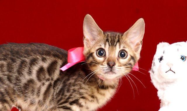 ベンガルの子猫 2019/3/5生 664番ピンク メス2