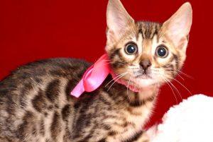 ベンガルの子猫 2019/3/5生 664番ピンク メス3