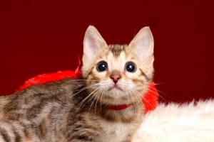 ベンガルの子猫 2019/3/4生 662番レッド メス1