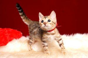 ベンガルの子猫 2019/3/4生 662番レッド メス2