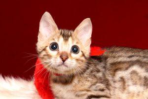 ベンガルの子猫 2019/3/4生 662番レッド メス3