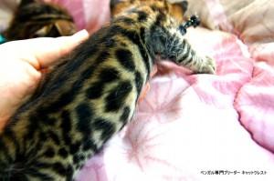 ベンガルの子猫の模様