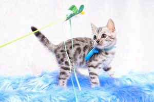 ベンガルの子猫 2017年6月7日生まれ 381番アクア君